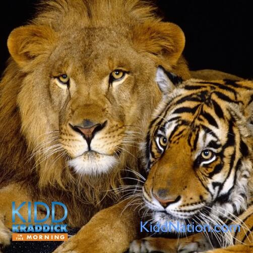 audioboo-template-lion-tiger