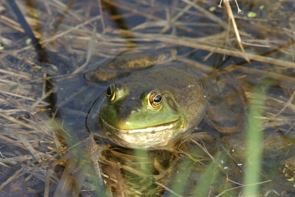 bull frog in water 04 17