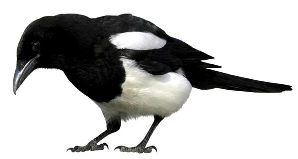 magpie-cropped-reversed