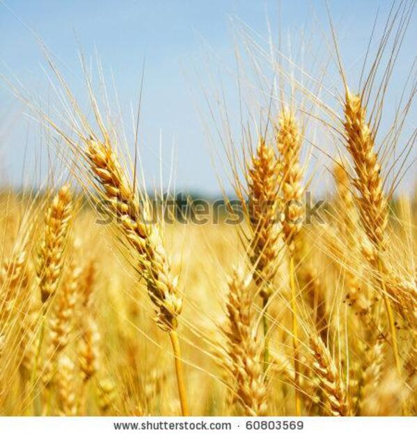 stock-photo-wheat-60803569