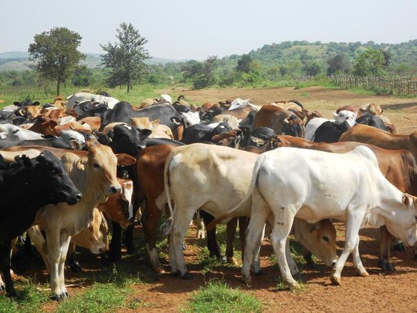 A herd of cattle grazing in Ikwiriri village in Rufiji in May 2012 Photo Zuberi Mussa