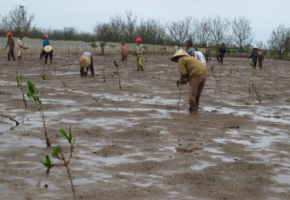 Mangroves reduce disaster risk boost income options in Vietnam