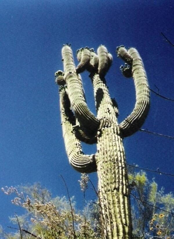 an old saguaro