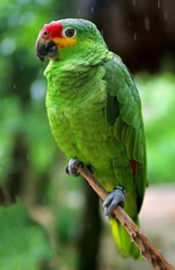 Red-loredParrot