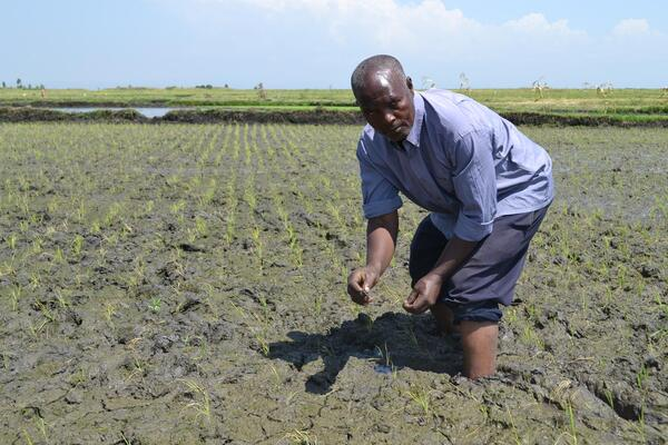 Moses Kareithi Mwangi on his rice paddy. The SRI sustem discourages flooding the paddy throughout and encourages wider spacing
