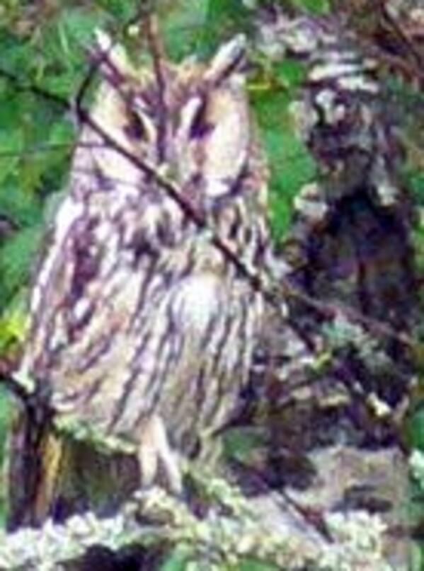 theeagleowl