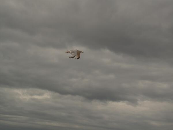 seagull