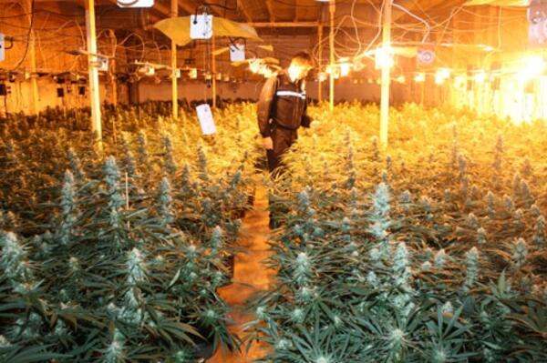 Cannabis-heybridge-gallery-1