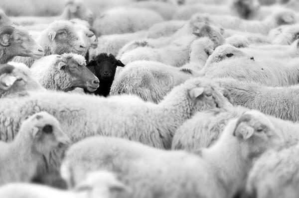 Sheep Herd Image