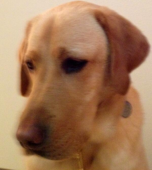 Yellow Lab Guide Dog