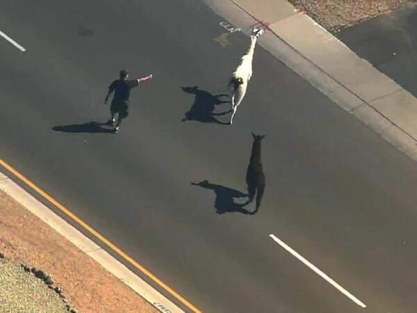 Llama chase in Arizona Part 2 2644310000 14034945 ver1.0 640 480