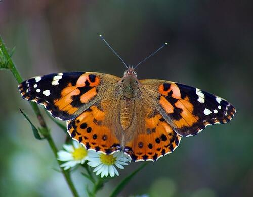painted-lady-butterfly