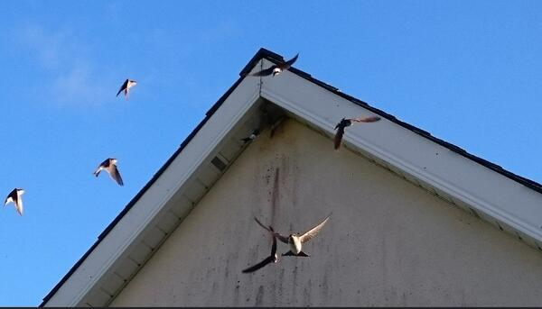 Swallows in August