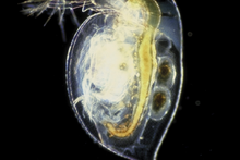 ethica issues on testing caffeine on daphnia