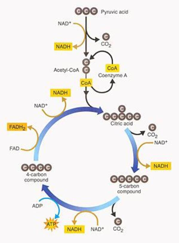 audioBoom / Topic 7-09 Krebs Cycle