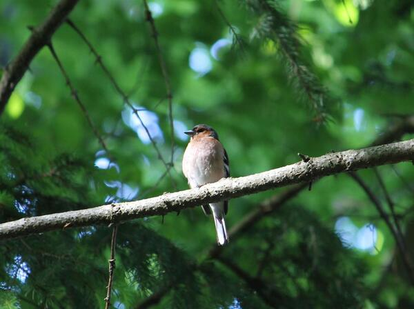 chaffinch small