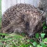 WillowsHedgehog