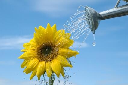 watering sunflower