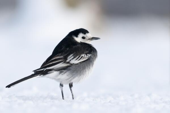 Pied Wagtail in December - National Trust Images Ross Hoddinott