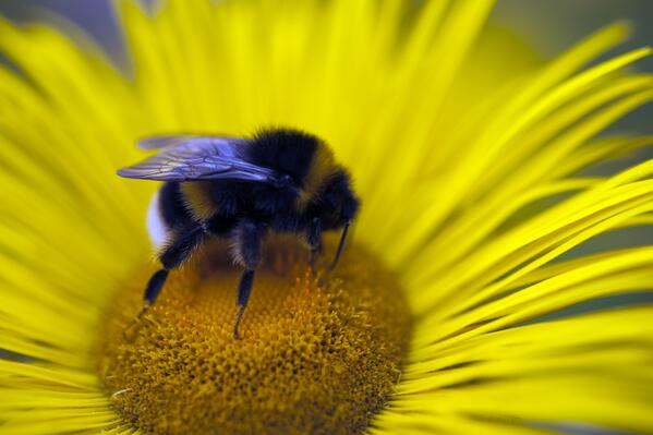 Bumblebee on flower at Calke Abbey - National Trust Images John Millar
