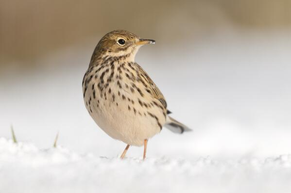Meadow Pipit near Bradworthy - National Trust Images Ross Hoddinott